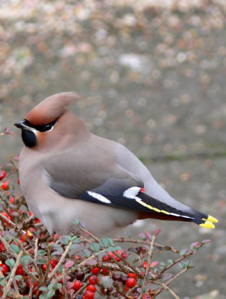 Photograph of Waxwing