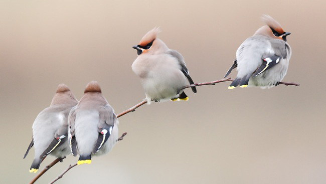 Photograph of Bohemian Waxwings