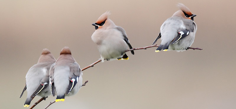Photograph of Waxwings