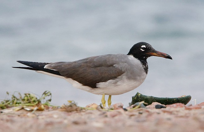 Photograph of White-eyed Gull