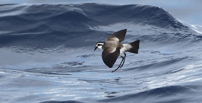 Photograph of White-faced Storm-petrel