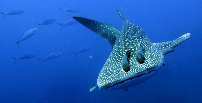 Photograph of Whale Shark