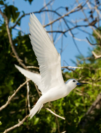 Photograph of White Tern