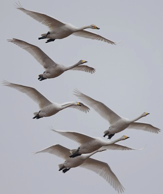 Photograph of Whooper Swans