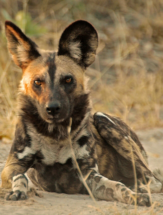 Photograph of African Wild Dog