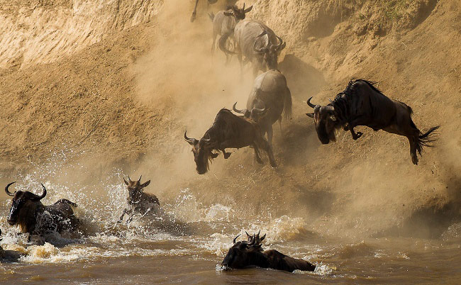 Photograph of Blue Wildebeest Migration
