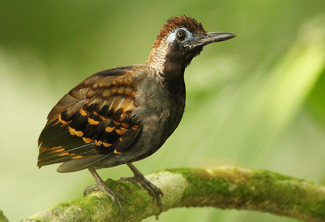 Photograph of Wing-banded Antbird