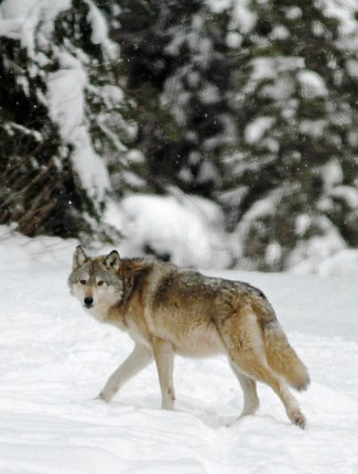 Photograph of Wolf