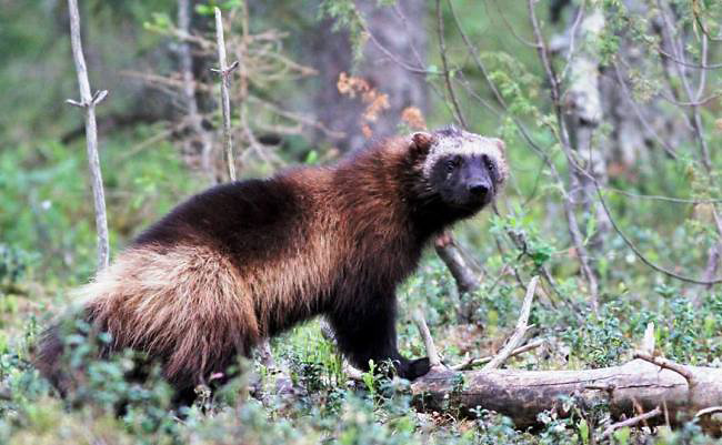 Photograph of Wolverine