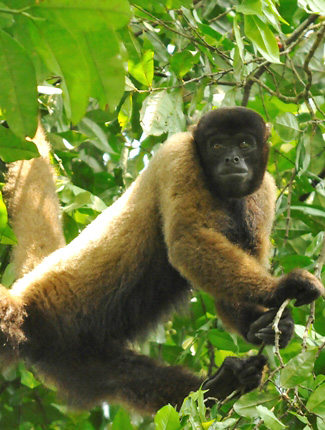 Photograph of Woolly Monkey