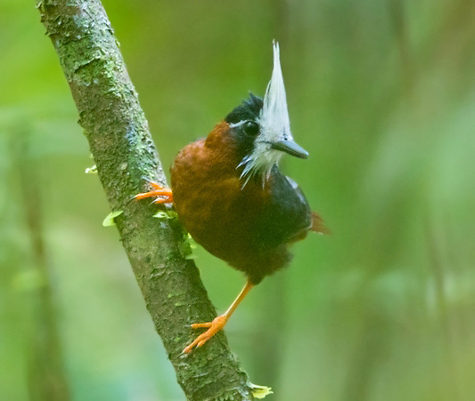 Photograph of White-plumed Antbird