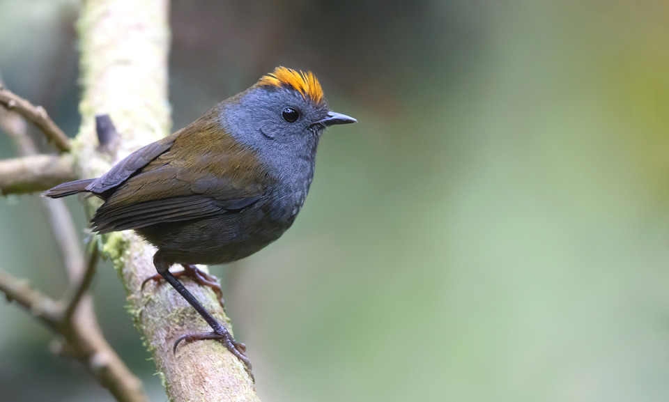 Photograph of Wrenthrush