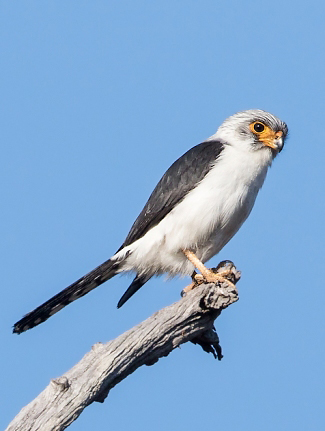 Photograph of White-rumped Pygmy-falcon
