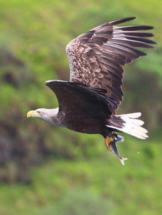 Photograph of White-tailed Eagle