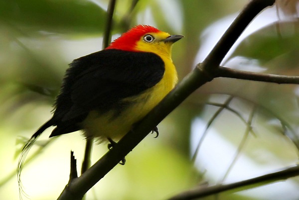 Photograph of Wire-tailed Manakin