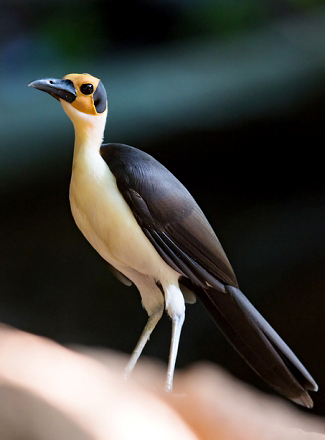 Photograph of Yellow-headed Picathartes