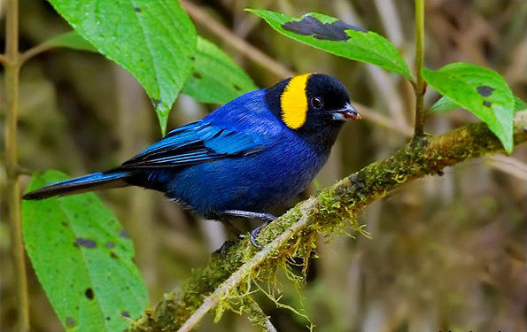 Photograph of Yellow-scarfed Tanager