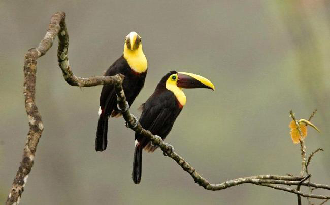 Photograph of Yellow-throated Toucans