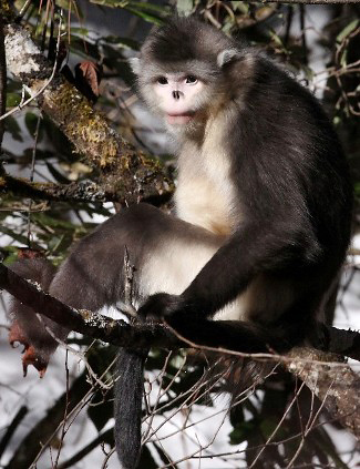 Photograph of Yunnan Snub-nosed Monkey